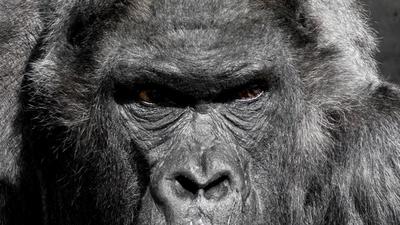 Middle gorilla monkey ape zoo